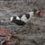 Caring and Development of a Blacksmith Lapwing's young