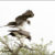 Mating Martial Eagles
